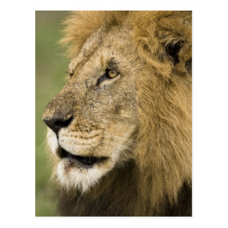 African Lion Portrait, Panthera leo, in the Postcard