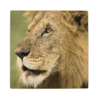 African Lion Portrait, Panthera leo, in the Wood Coaster