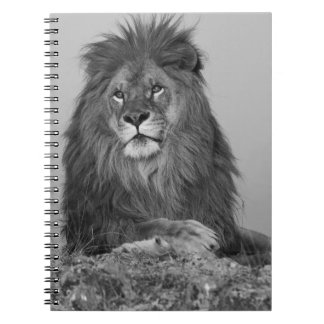 African Lion resting on rock cliff Note Book