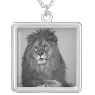 African Lion resting on rock cliff Silver Plated Necklace