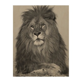 African Lion resting on rock cliff Wood Wall Decor