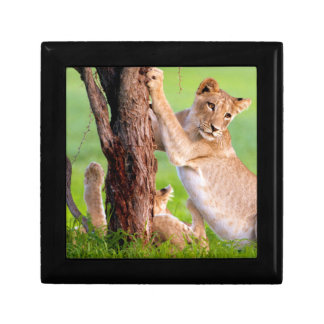 African Lions Kgalagadi Small Square Gift Box