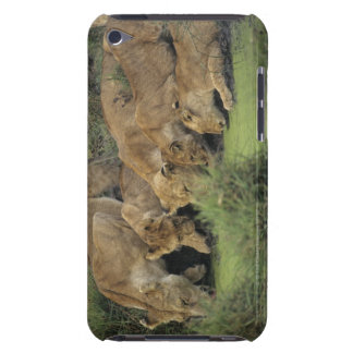 African lions (Panthera leo) smelling grass, Barely There iPod Covers