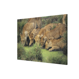 African lions (Panthera leo) smelling grass, Canvas Print