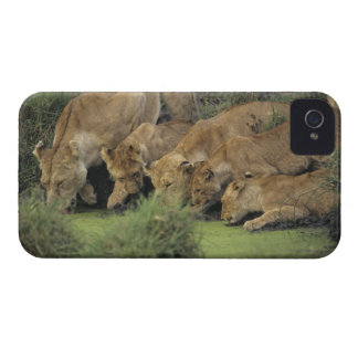 African lions (Panthera leo) smelling grass, iPhone 4 Covers