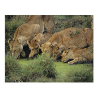 African lions (Panthera leo) smelling grass, Postcard
