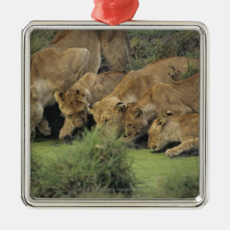 African lions (Panthera leo) smelling grass, Silver-Colored Square Decoration
