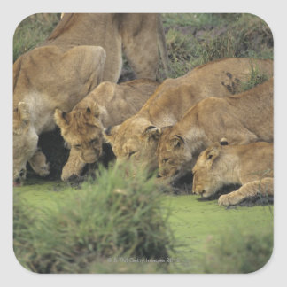 African Lions (Panthera leo) Square Sticker