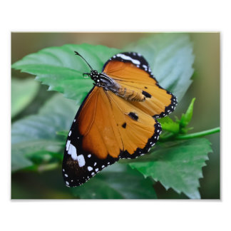 African monarch butterfly hatched out of pupa photo art