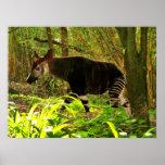 African Okapi Poster
