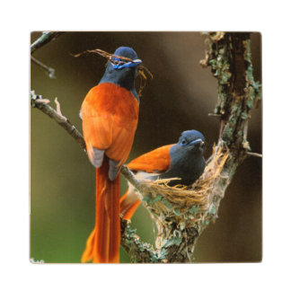 African Paradise Flycatcher 2 Wood Coaster