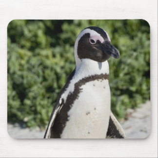 African Penguin, formerly known as Jackass Mouse Mat