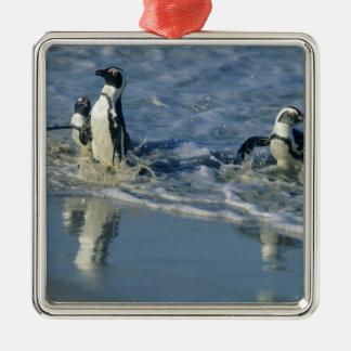 African Penguin, (Spheniscus demersus), coming 2 Silver-Colored Square Decoration