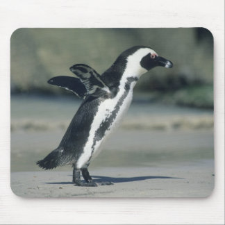 African Penguin, (Spheniscus demersus), coming Mouse Pad