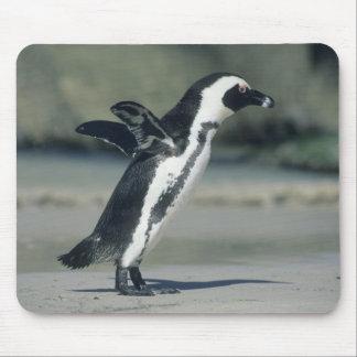 African Penguin, (Spheniscus demersus), coming Mouse Pad