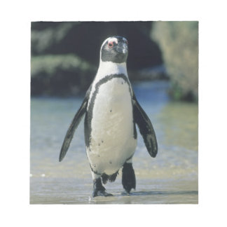 African Penguin ((Spheniscus demersus) coming Notepads
