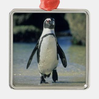 African Penguin ((Spheniscus demersus) coming Silver-Colored Square Decoration