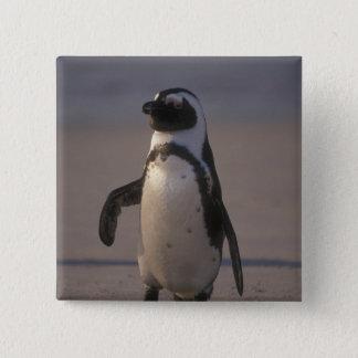 African Penguin (Spheniscus demersus) or Jackass 15 Cm Square Badge