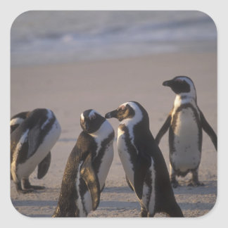 African Penguin (Spheniscus demersus) or Jackass 2 Square Sticker