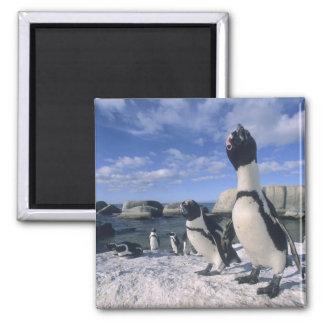 African Penguin ((Spheniscus demersus) wild, Refrigerator Magnets