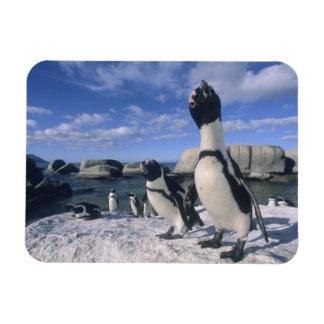 African Penguin ((Spheniscus demersus) wild, Rectangular Photo Magnet