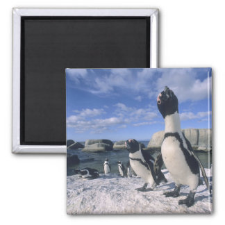 African Penguin ((Spheniscus demersus) wild, Square Magnet