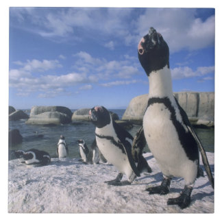 African Penguin ((Spheniscus demersus) wild, Tile