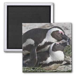 African Penguins, formerly known as Jackass 2 Square Magnet