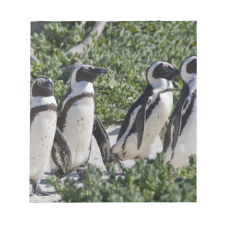 African Penguins, formerly known as Jackass Notepad