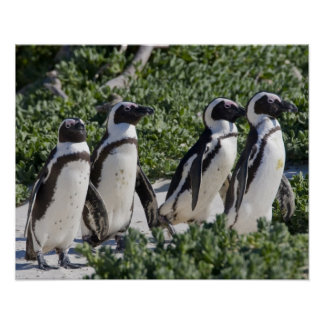 African Penguins, formerly known as Jackass Poster