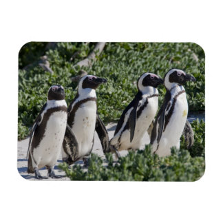 African Penguins, formerly known as Jackass Rectangular Photo Magnet