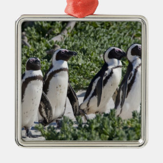 African Penguins, formerly known as Jackass Silver-Colored Square Decoration