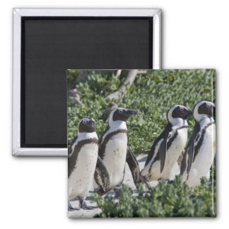 African Penguins, formerly known as Jackass Square Magnet