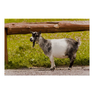 African Pygmy Goat Poster