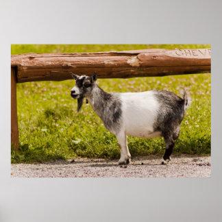 African Pygmy Goat Print