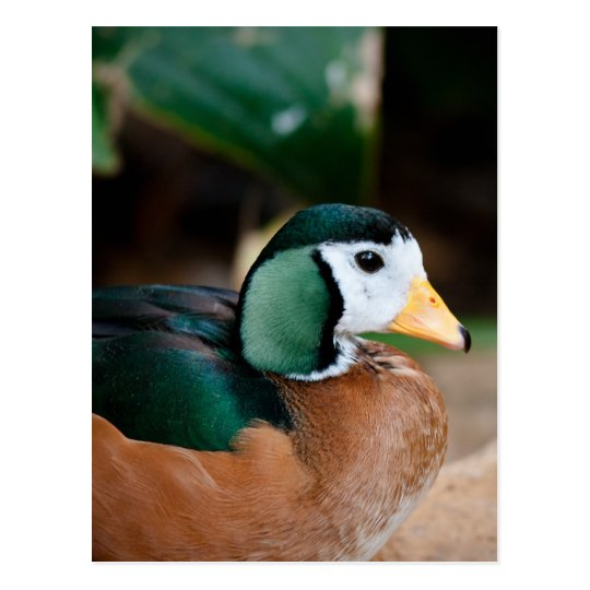 African Pygmy Goose Postcard