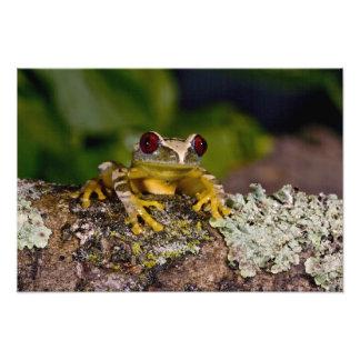 African Red Eye Treefrog Leptopelis 2 Art Photo