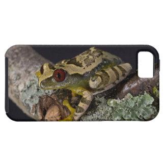 African Red Eye Treefrog, Leptopelis iPhone 5 Cases