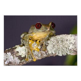 African Red Eye Treefrog, Leptopelis Photo Print