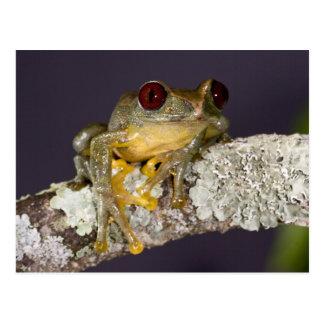 African Red Eye Treefrog, Leptopelis Postcard