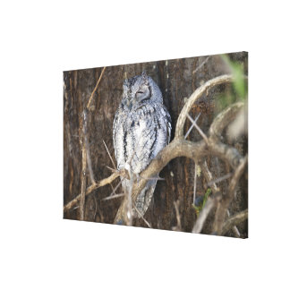 African Scops-Owl, Kruger National Park, South Canvas Print