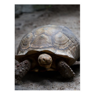 African Spurred Tortoise Postcard