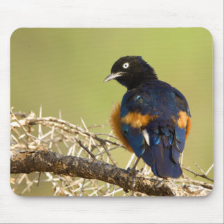 African Starling Mouse Mat