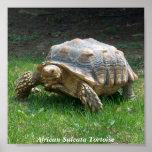 African Sulcata Tortoise Print