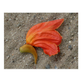 African Tulip Tree Flower Postcard