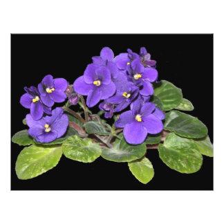 African violet flyer