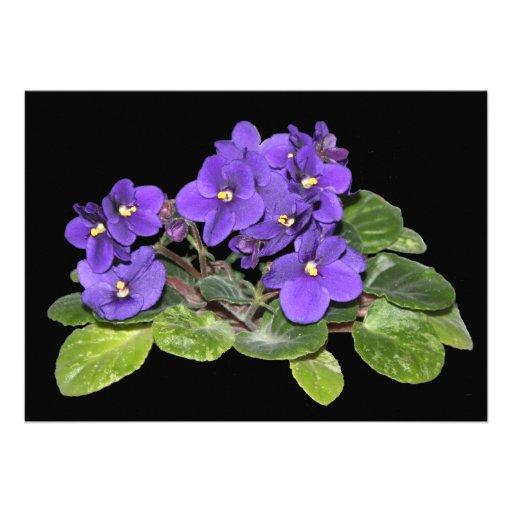 African violet announcement