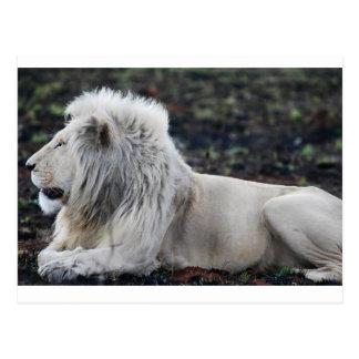 African White Lion Profile photo Postcard