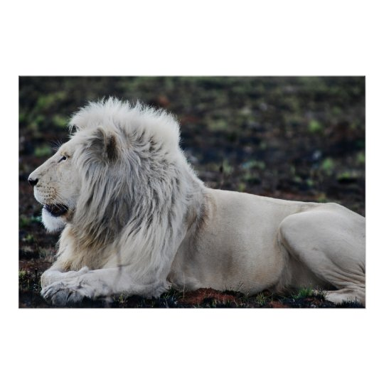 African White Lion Profile photo Poster