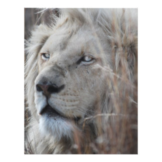African white lion resting flyer
